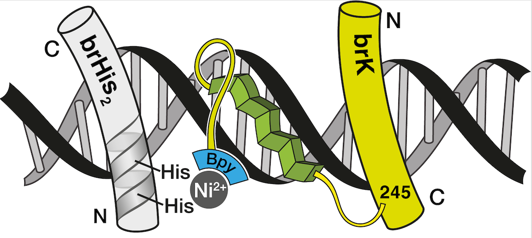 Nickel-promoted Recognition of long DNA sites by designed Peptide Derivatives