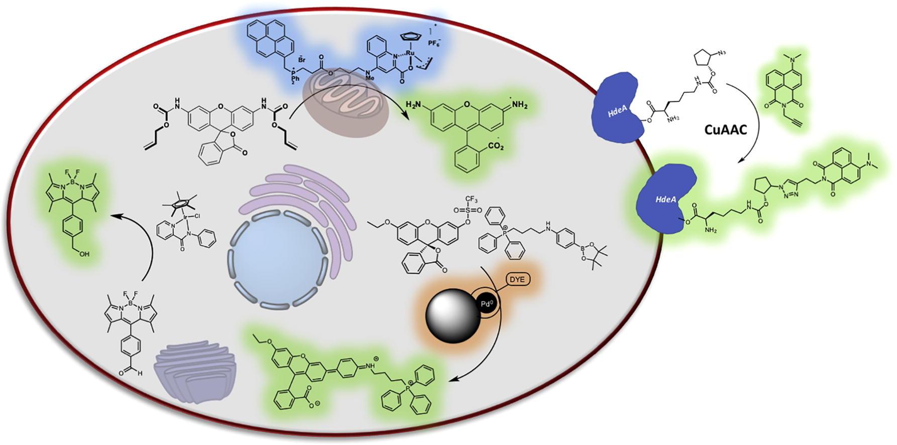 Organometallic catalysis in biological media and living settings